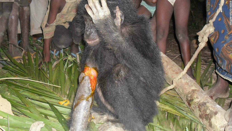 "In November 2012, hunters in Bolomba contacted the sanctuary about this injured young orphan because they ""didn't want to catch a bonobo in their trap."""