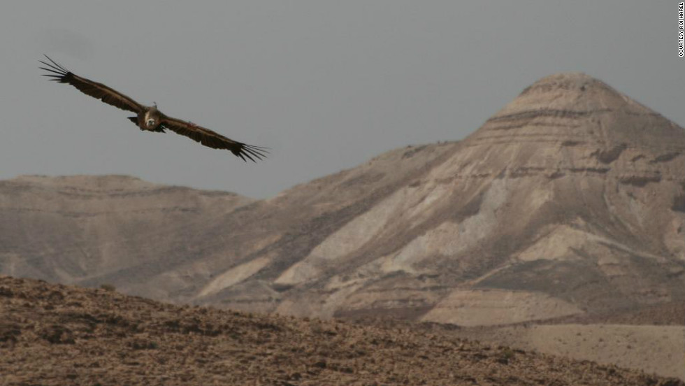 A file photo of a vulture tagged by researchers at Hebrew University in Jerusalem. In October, two PhD students tagged more than 100 young vultures -- 25 with GPS tracking -- in an effort to study their behavior and movement.