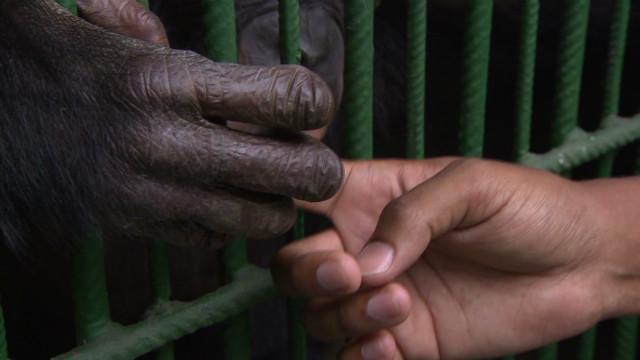 inside africa drc apes bonobos b_00051317