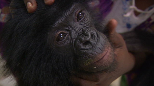 Bonobos: A second chance at life