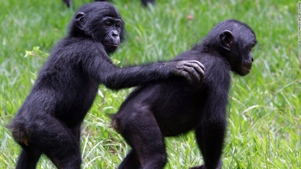 "Congo is also home to 400 species of mammals (including more than 80% of African primates). Pictured, rescued bonobos at the <a href=""http://edition.cnn.com/2013/01/03/world/africa/lola-ya-bonobo-congo/"" target=""_blank"">""Lola ya Bonobo"" sanctuary</a>, outside Kinshasa."