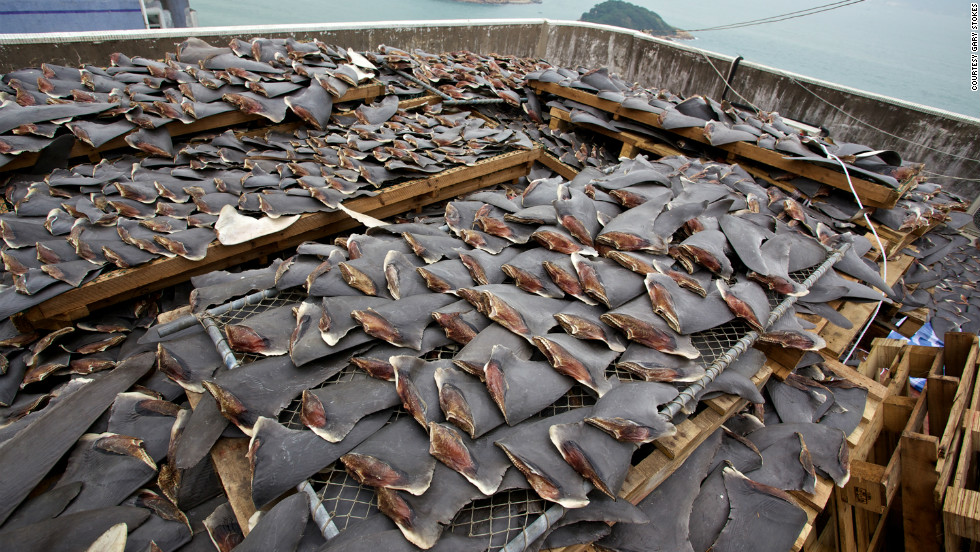 "Many restaurants and hotels in Hong Kong have chosen <a href=""http://www.cnn.com/2011/11/22/world/asia/hotel-shark-fin-ban/index.html"" target=""_blank"">not to serve shark fin soup</a>, and last year a Chinese State Council said they are planning to ban shark fin soup from being<a href=""http://www.cnn.com/2012/07/03/world/asia/china-shark-fin/index.html"" target=""_blank""> served at official banquets</a> in China."