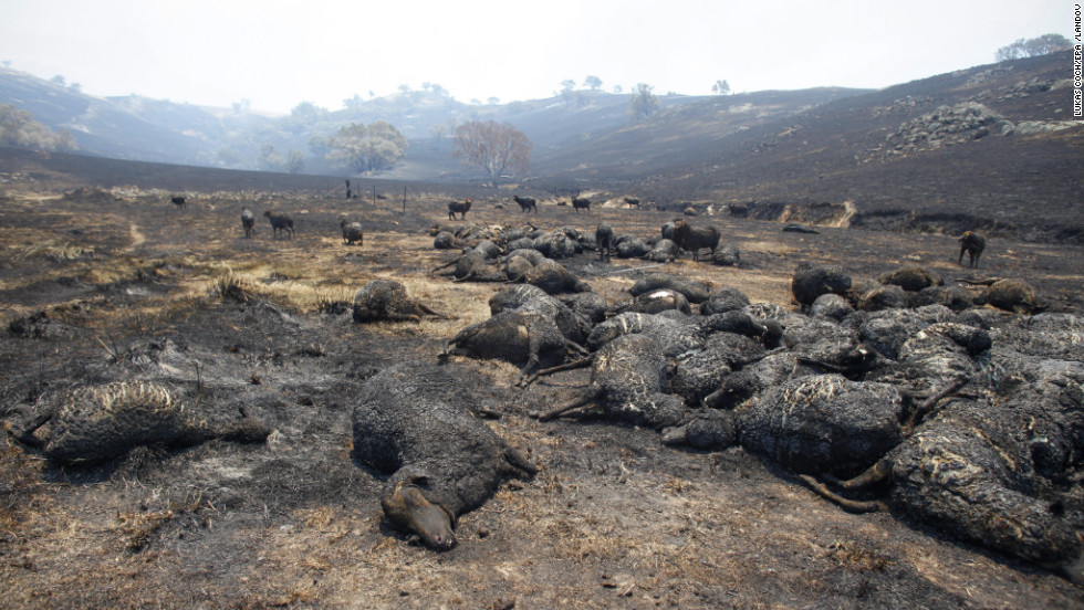 Burned sheep lie in a paddock near Bookham in New South Wales on Wednesday. An estimated 10,000 sheep have died in the New South Wales bushfires.