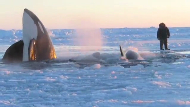 A rush to save trapped killer whales