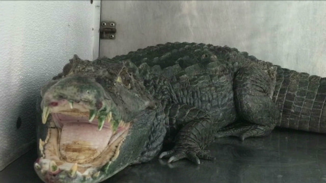 Police find alligator guarding pot