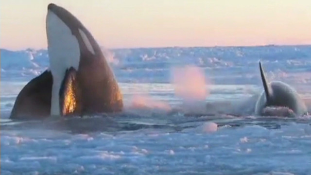 Did killer whales escape ice?