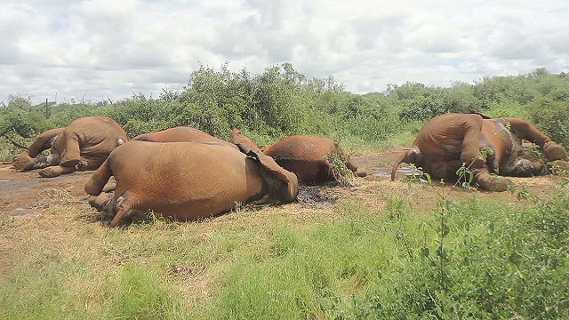 Rangers dying with elephants in Kenya