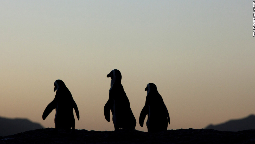 African penguins walk along the rocks at sunset in Table Mountain National Park near Cape Town, South Africa.