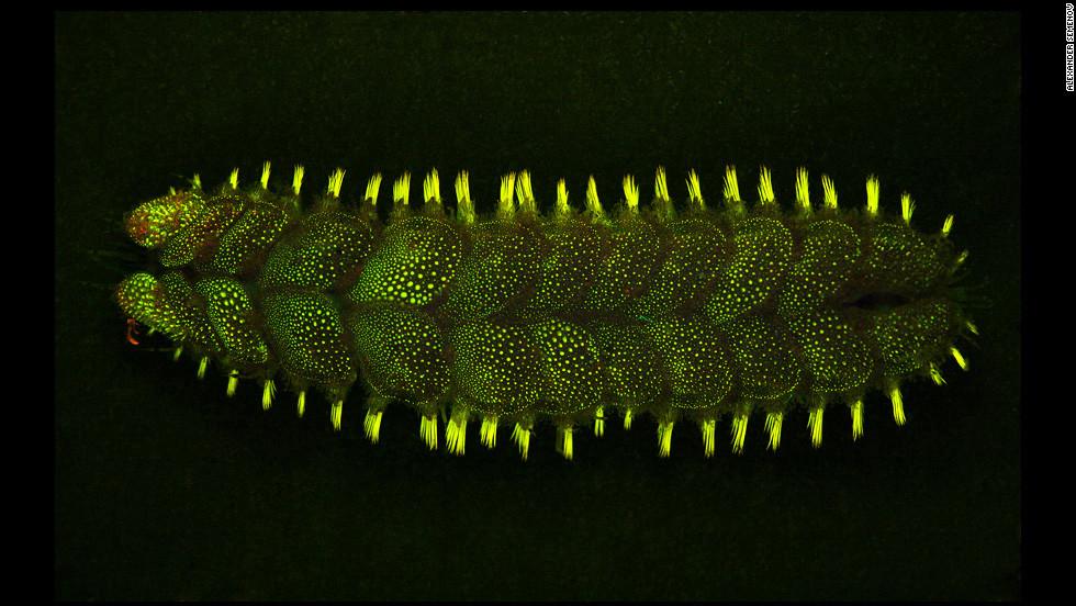 The Lepidonotus Squamatus has the ability to glow.