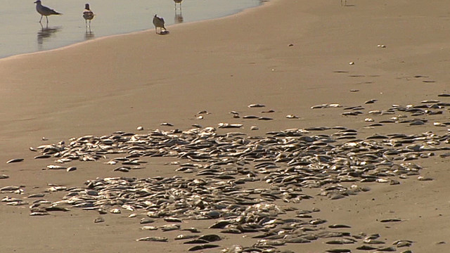 Thousands of dead fish litter shore