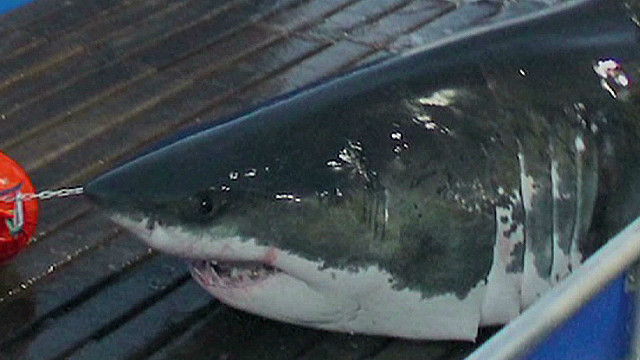 Great white shark near Cape Hatteras