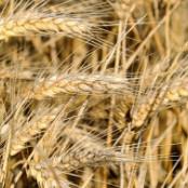 gluten wheat