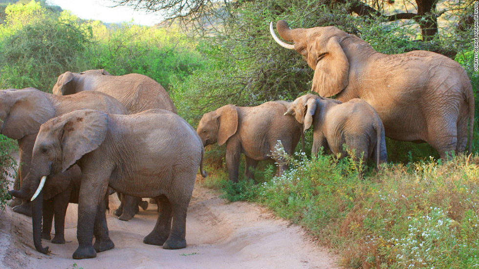"Kent has had numerous encounters with elephants, including a memorable charge by a matriarch in Tanzania. ""She picked up our Land Rover with her tusks and pushed us nine or 10 meters along the ground!"" he recalls."