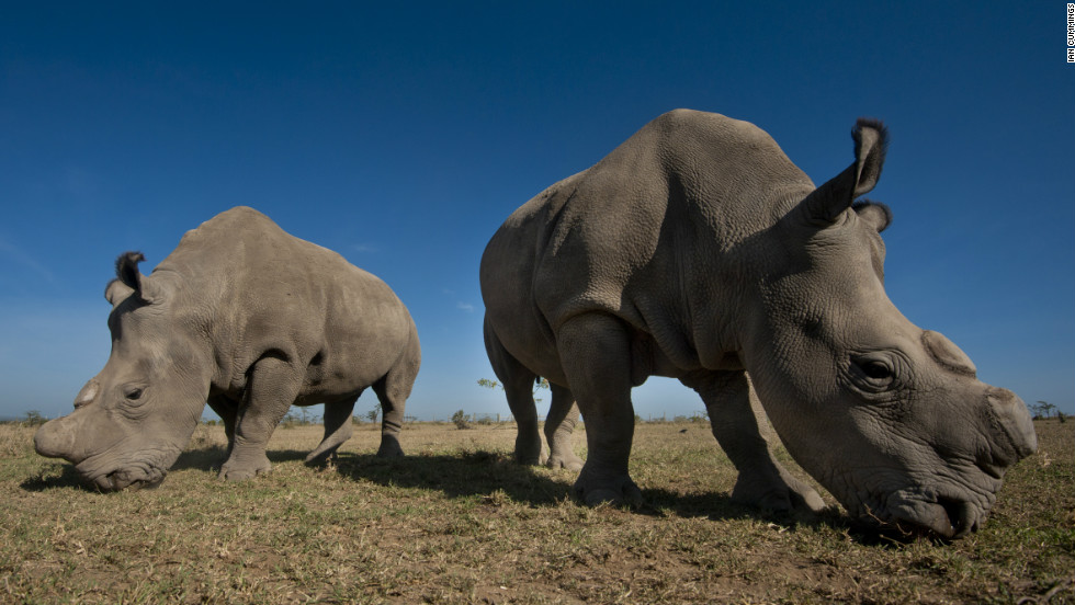 Ol Pejeta is home to four of the last seven northern white rhinos left in the world