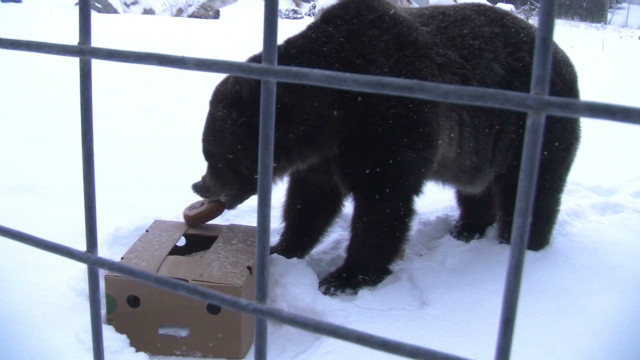 Soothsaying bear makes Super Bowl pick