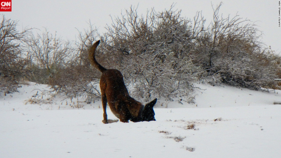 """Duck, a 3-year-old Belgian malinois, works as a patrol narcotics detector dog for the military. His training session at Fort Bliss, Texas, quickly turned into playtime when snow started to fall on January 3. Handler Charles A. Ogin captured the pup's <a href=""""http://ireport.cnn.com/docs/DOC-905598"""">first time in the snow</a>."""