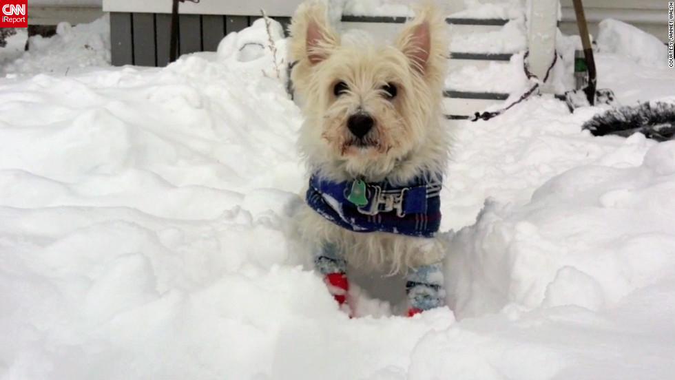 "Jannet Walsh dresses her dog Andrew, a West Highland white terrier, in dog booties and wool socks to go out in blizzard conditions in Murdock, Minnesota. Andrew modeled his winter wear when it was minus 15 degrees in <a href=""http://ireport.cnn.com/docs/DOC-892939"">this video</a> from December 9."