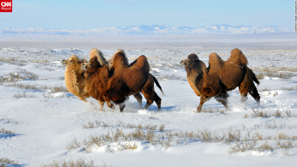 "Camels trek through a <a href=""http://ireport.cnn.com/docs/DOC-918872"">blanket of snow</a> in Mongolia on December 30. Inga Lukaviciute captured this photo while horseback riding. ""We were riding horses in the snow-covered steppes and spotted the camels lying down in the distance. One of our guides took off on his horse to herd the camels closer,"" she said. ""I was in awe. The camels came running closer to us and around us. It was very unreal."""