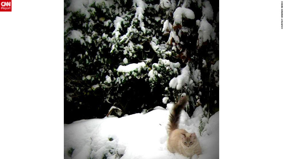 "Andrew Newiss says his two cats enjoyed the snow that fell on Cowling, England, on January 26. They ""were trying to catch snowflakes through the window,"" he said. Teddy, pictured here, and Lucy were ""a little wary at first, but once they saw that I was outside they <a href=""http://ireport.cnn.com/docs/DOC-919628"">pranced through the snow drifts</a> and enjoyed the freedom and fresh air."""