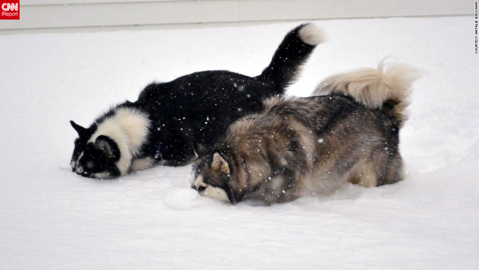 "Natalie Bauchan's Siberian huskies, Empire and Cammy, dig their noses into the Buffalo, New York snow. ""This is the <a href=""http://ireport.cnn.com/docs/DOC-921022"">first thing they did</a> when they got into the foot-plus snow!"" said Bauchan. ""They have the best personalities and would pull a sled if we let them."""