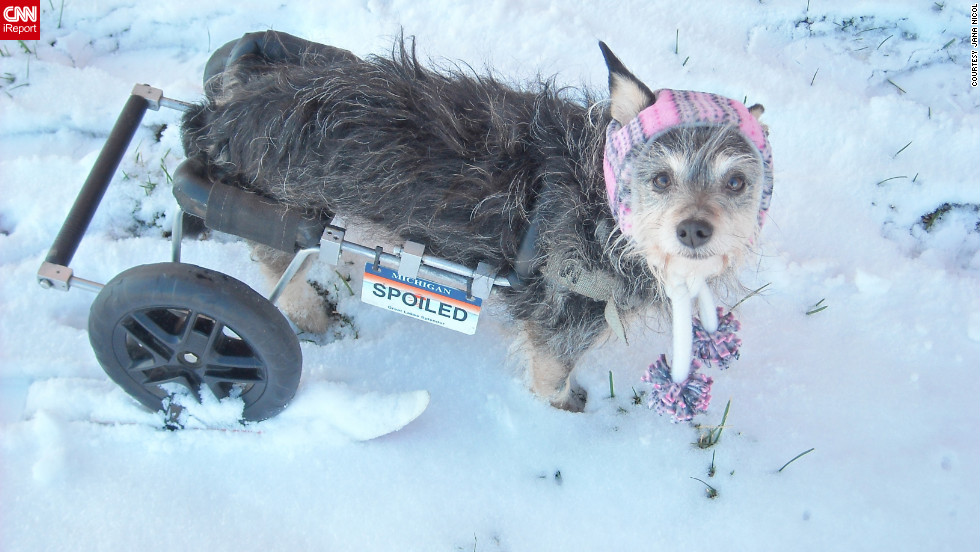 "Six-year-old Tori doesn't let being handicapped stop her from enjoying the snow. Look closely -- owner Jana Nicol of Lansing, Michigan, modified a <a href=""http://ireport.cnn.com/docs/DOC-920689"">set of skis</a> to fit under the dog's tires and says skiing is now one of Tori's favorite activities. ""When I ask her, 'Wanna go skiing?' her ears shoot up and she gets all excited,"" said Nicol, who shot this photo December 27."