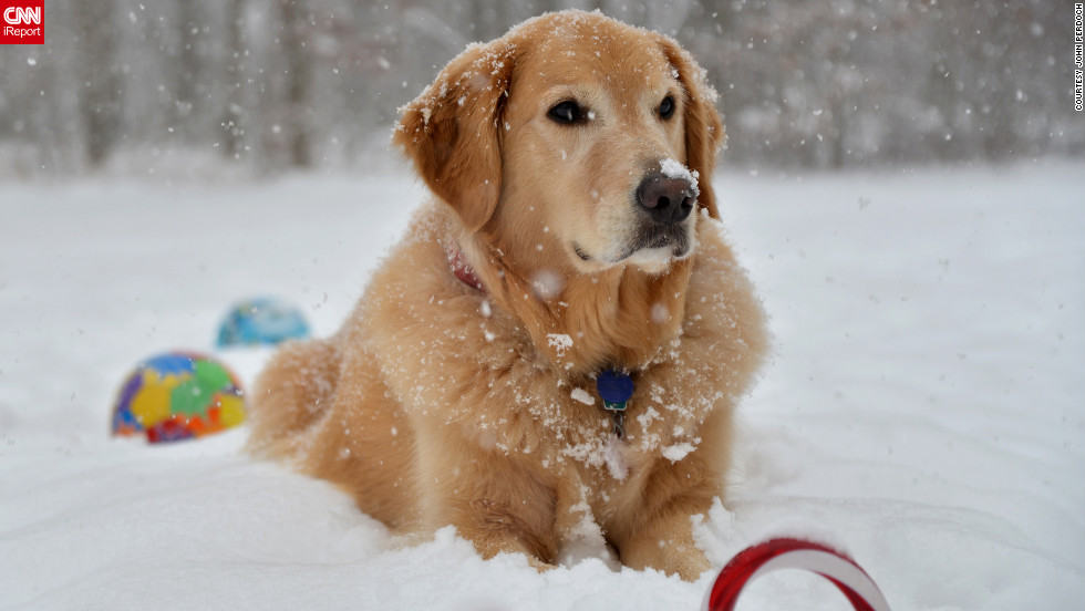 "Four-year-old golden retriever Deuce ""loves to lounge in the snow,"" said John Perdoch. He would lie there ""all day given a chance,"" said  Perdoch who <a href=""http://ireport.cnn.com/docs/DOC-920935"">shot this photo</a> December 29 in Pennsylvania."