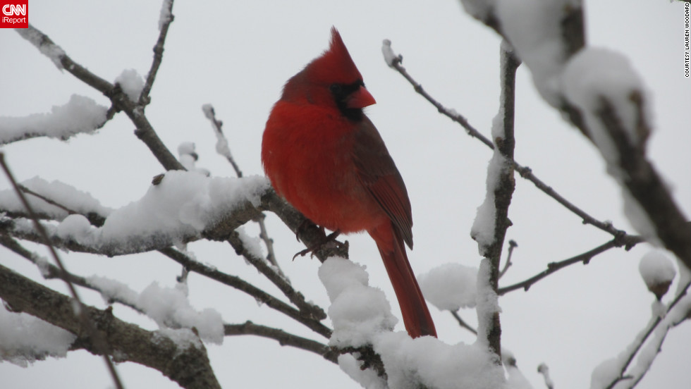 "Lauren Woodard captured this portrait of a <a href=""http://ireport.cnn.com/docs/DOC-921002"">cardinal</a> on the day after Christmas as snow fell in Henderson, Kentucky. ""There were 10 to 20 cardinals at any time in a tree outside the kitchen window and they were too beautiful not to catch on camera,"" she said."