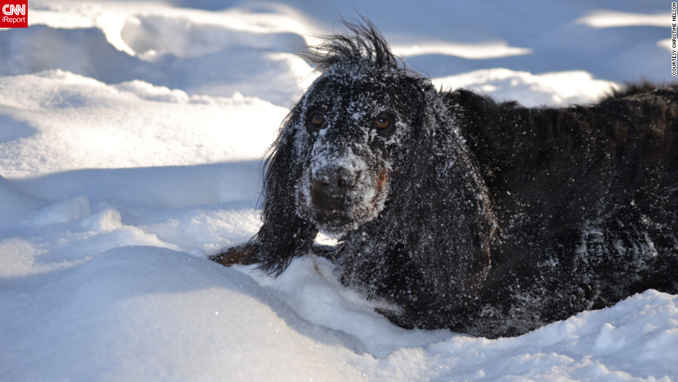 """Pete, a 9-year-old Gordon setter, """"loves to burrow and roll around"""" in the Eveleth, Minnesota, snow, said Christine Nelson. """"It looks like he's making snow angels!"""" Nelson captured this shot of <a href=""""http://ireport.cnn.com/docs/DOC-920929"""">snowy Pete</a> on February 5."""