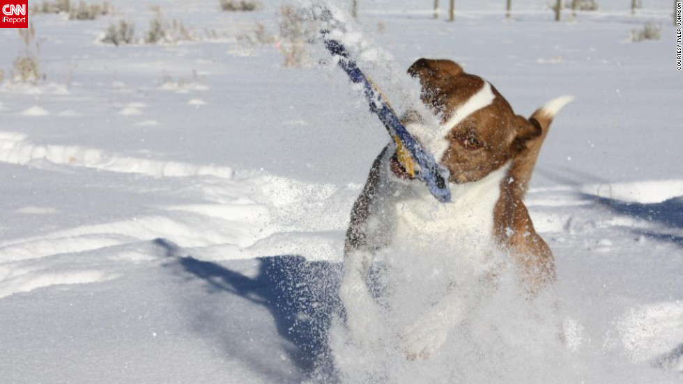 "Three-year-old Dixie dives for a Frisbee in the Victor, Idaho, snow. ""Dixie loves all kinds of water, whether it be frozen in the form of snow, flowing down a river, or in a lake,"" said Tyler Johnson, who captured this image January 20. ""We had to get a Frisbee that would not <a href=""http://ireport.cnn.com/docs/DOC-921655"">sink in the snow</a>; there are currently two missing and buried in the snow somewhere in the yard."""