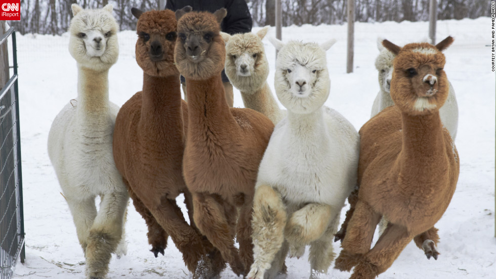 "These alpacas in Unity, Maine, love the snow! ""They can get quite excited in new snow and...<a href=""http://ireport.cnn.com/docs/DOC-921927"">race as a herd</a> about the pasture,"" said Pamela Wells, who shot this photo December 30. ""The yearlings, in particular, like to run close together, and engage in a behavior called pronking; jumping up off the ground to show happiness."" Wells says the alpacas' fleecy fur is even warmer than wool."