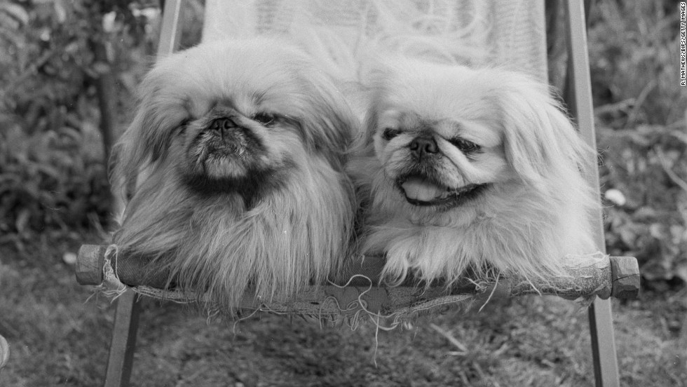 "Originally bred in China as far back as 800 AD, the <a href=""http://www.westminsterkennelclub.org/breedinformation/toy/pekese.html"" target=""_blank"">Pekingese</a> dog has long been a companion of royalty. They earned the moniker ""Sleeve Dog"" because they were often carried in the sleeves of Chinese courtiers' robes."