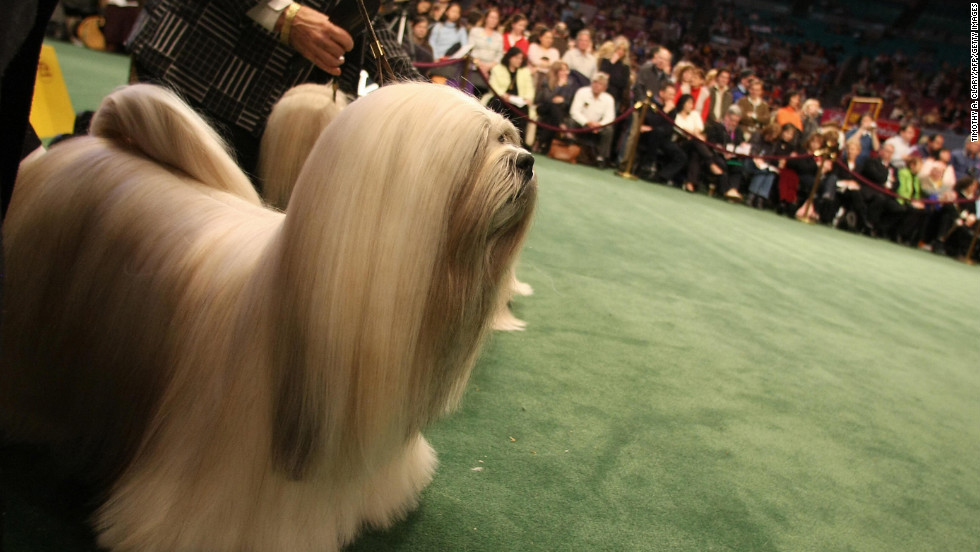 "The <a href=""http://www.westminsterkennelclub.org/breedinformation/non-sporting/lhasaaps.html"" target=""_blank"">Tibetan Lhasa Apso</a> breed was developed by dalai lamas as guard dogs. These dogs have excellent hearing, which helped their masters protect temples."