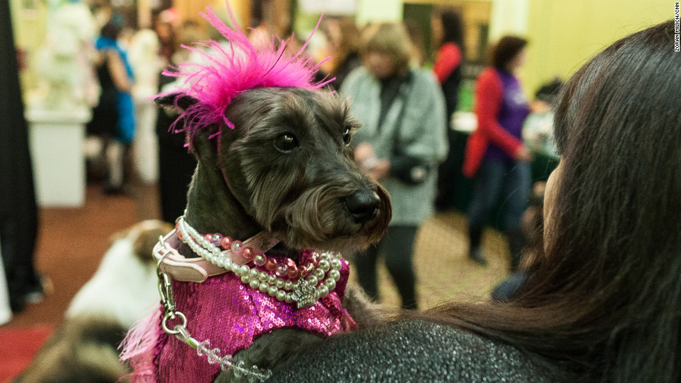 A dog inspects the room at the New York Pet Fashion Show.