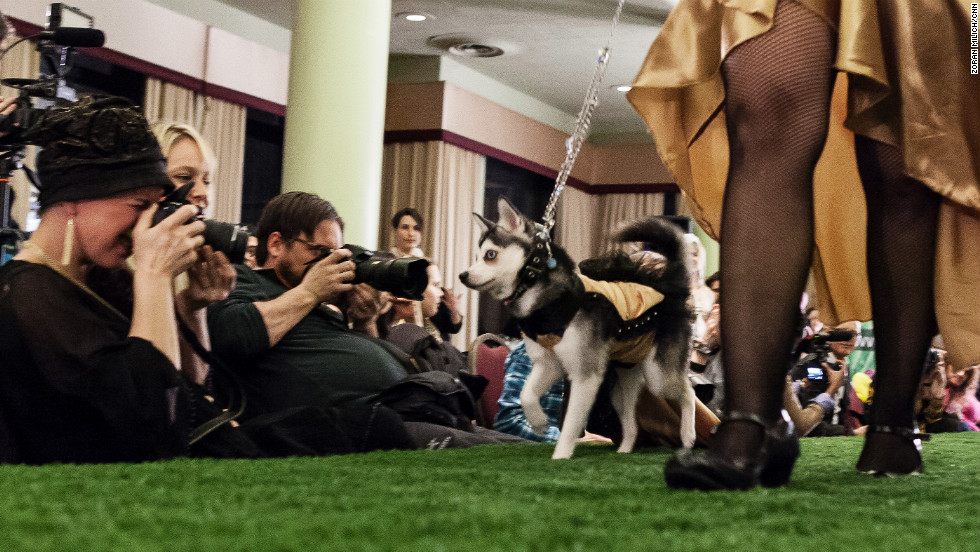 A dog eyes the cameras on the doggie catwalk.