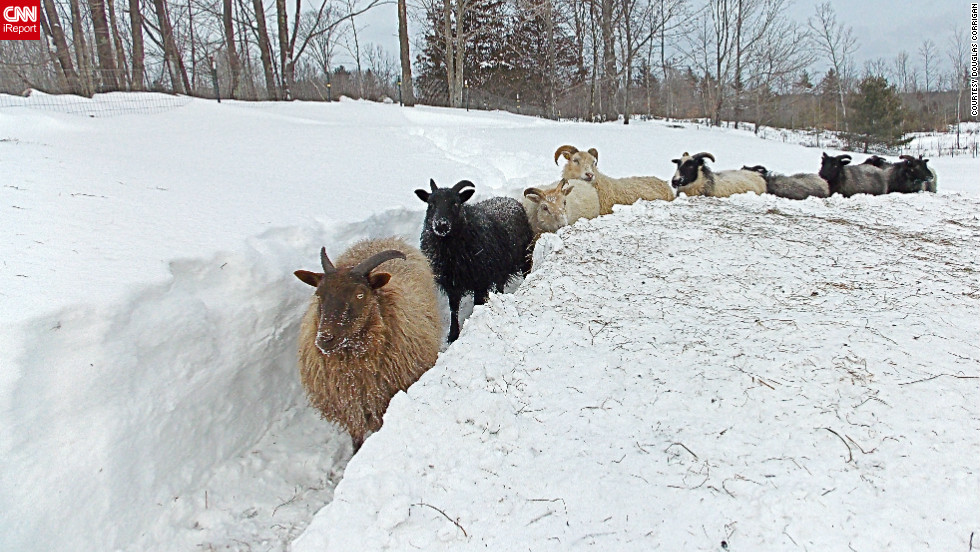 "When the blizzard receded in Limerick, Maine, Douglas Corrigan went out to check on his <a href=""http://ireport.cnn.com/docs/DOC-924591"">flock of Icelandic sheep</a>. He says they seemed perplexed when he found them in their barn, surrounded by three feet of snow. He spent hours clearing a path for them so they could get some exercise."
