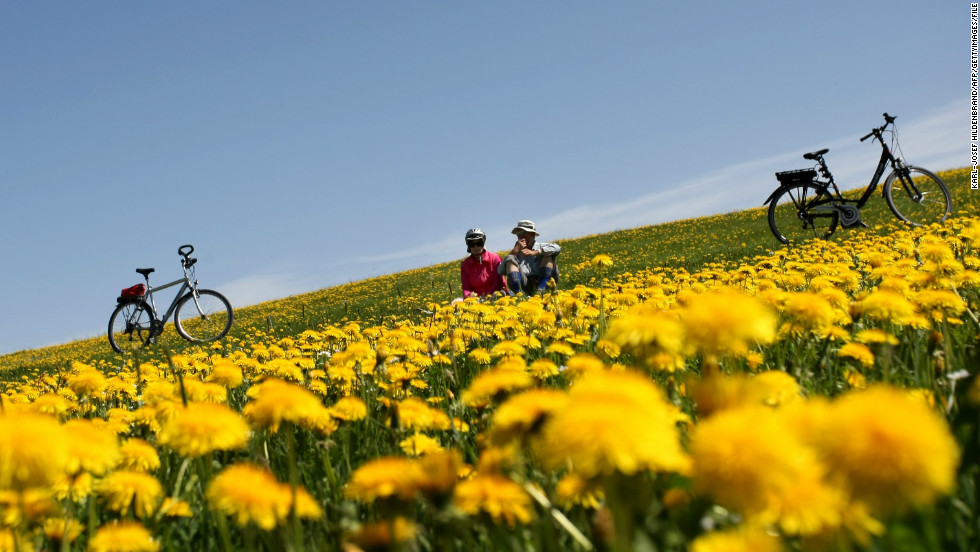 Scientists hope that in as little as five to 10 years, rubber tires like the ones on these bicycles will be able to be produced from latex harvested from dandelions.