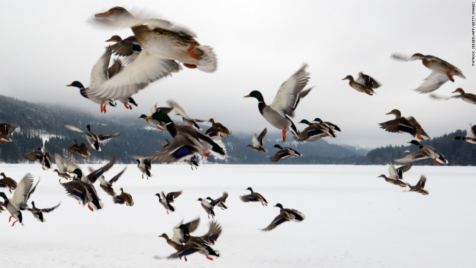 Ducks fly over the frozen Titisee Lake in Titisee-Neustadt, Germany, on February 27.