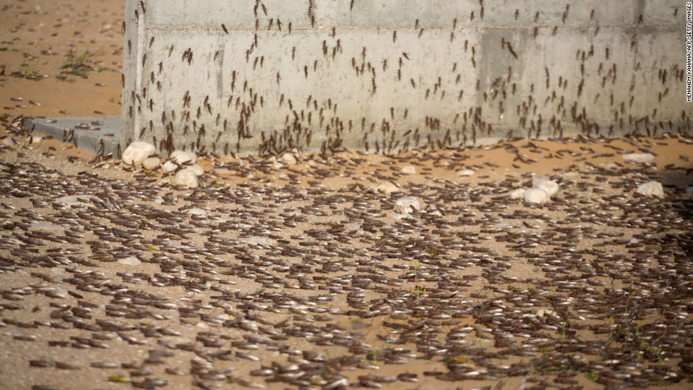 Locusts cluster on the ground in Kmehin on Wednesday.