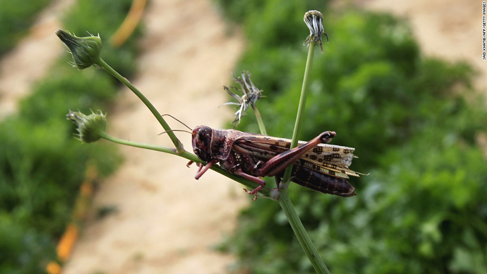 A locust sits on a plant at a farm in Khan Yunis on Tuesday.