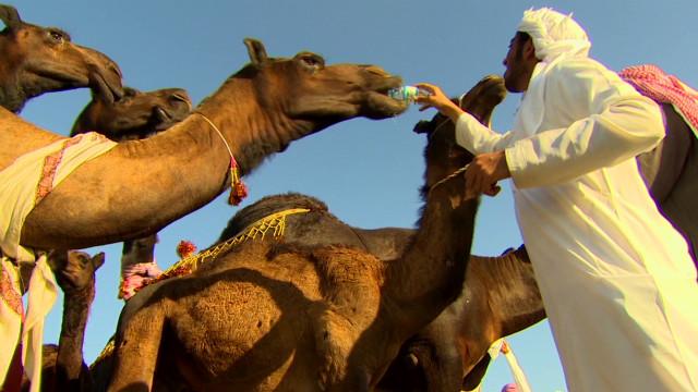 inside middle east muscat festival camels_00024214.jpg
