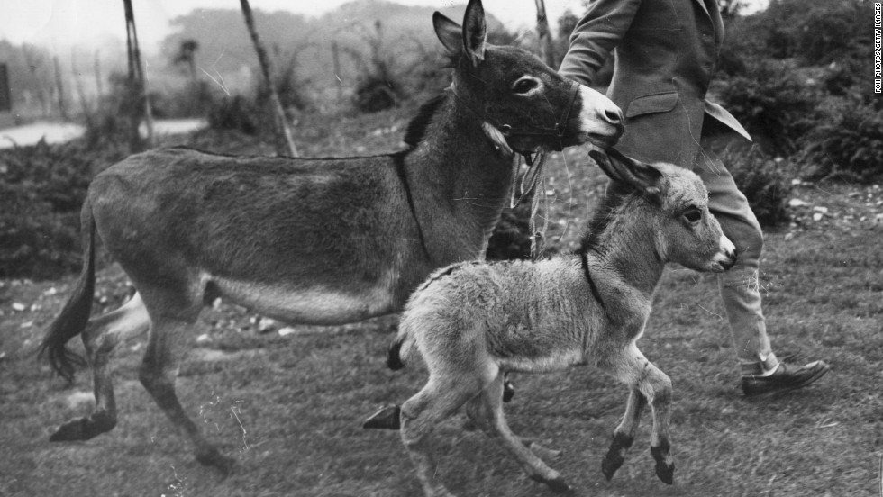"Miniature donkeys hail from Sicily and Sardinia, where they have been used as beasts of burden since the 18th century. They were introduced abroad in the 1920s, where they became beloved pets, especially in the United States and United Kingdom. They are naturally small because of isolation and food sources, an example of what scientists call ""island dwarfism."" Owners cite their tender, loving disposition and intelligence as reasons these spunky animals won their hearts."