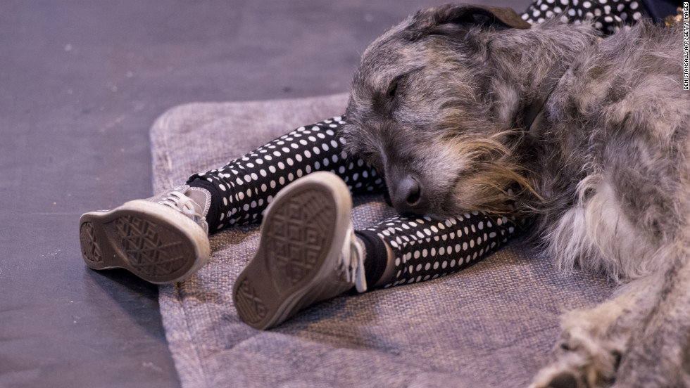 An Irish wolfhound rests on the legs of its owner.