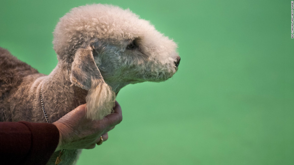 An owner holds his Bedlington terrier.