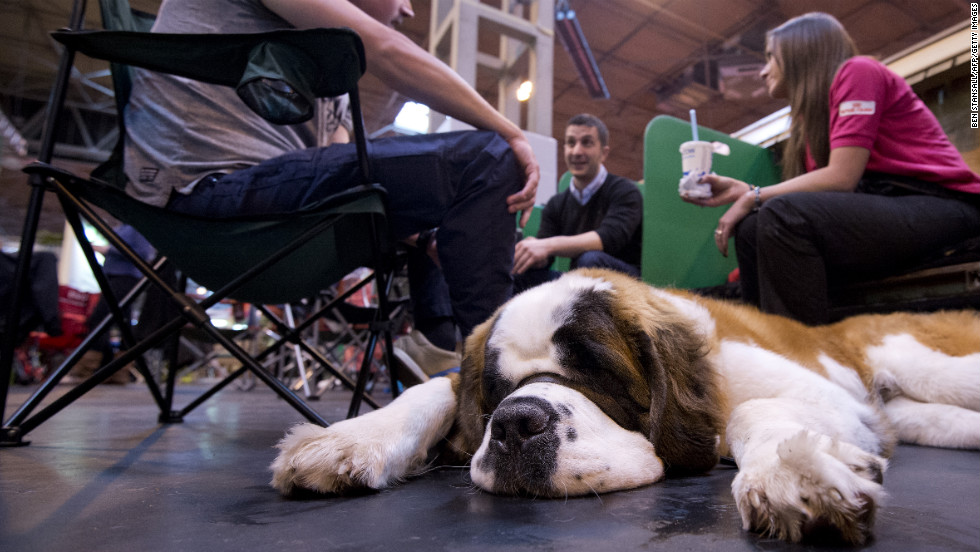 A Saint Bernard rests during the first day of the Crufts Dog Show.