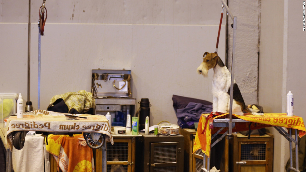 A wire fox terrier dog waits to be groomed.