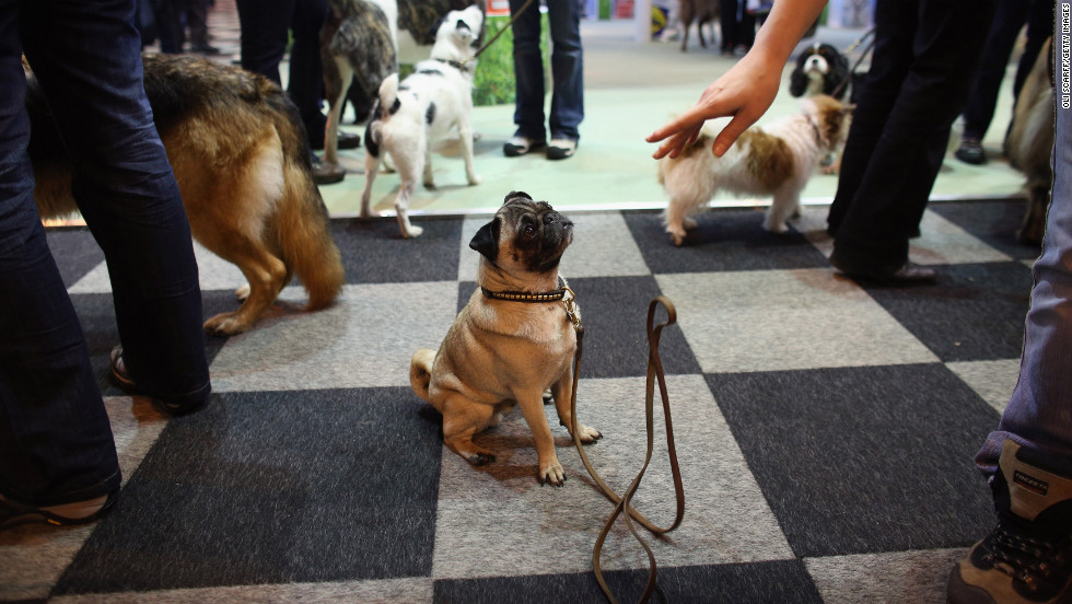 A pug is told to stay as its owner drops its leash.