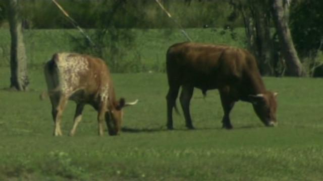 Cows invade PGA golf course