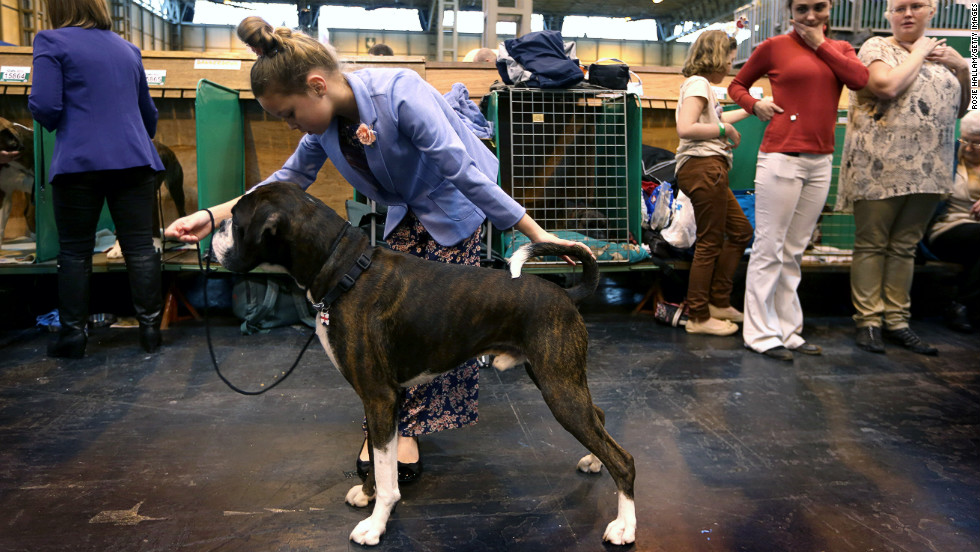Tamsin Blyton, 9, from Nottingham, England, and her boxer, Albert, prepare to show on March 10.