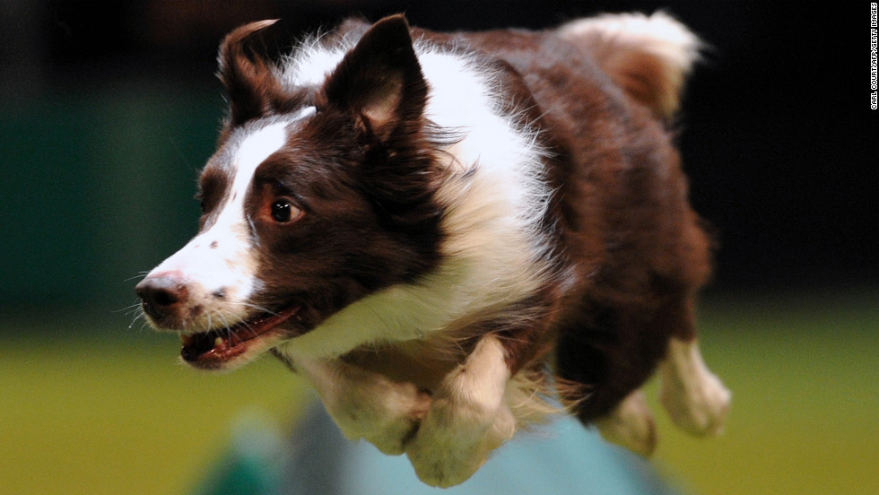 A collie jumps during the agility competition on March 10.