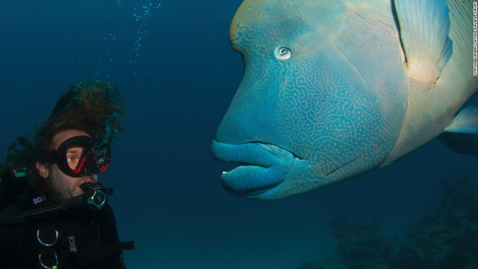 "A researcher comes face to face with a giant Maori Wrasse. Fishes are vital to the upkeep of their habitats: ""When you take the fishes out the ocean, you take out the gardeners and the pest control officers,"" says Hoegh-Guldberg."